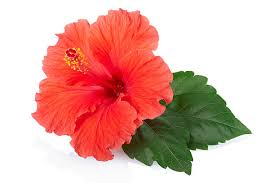 flower images royalty free tropical flower pictures images and stock photos