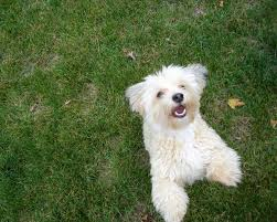 bichon frise funny havanese puppies funny puppy u0026 dog pictures