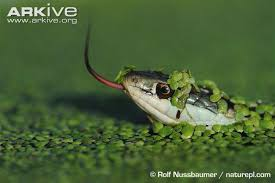western ribbon western ribbon snake photos and facts thamnophis