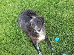 australian shepherd or golden retriever hippiedog com golden retriever aussie
