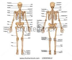 Picture Of Anatomical Position Human Skeleton Stock Images Royalty Free Images U0026 Vectors