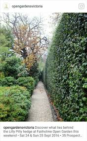 7 best algerian ivy images on pinterest ivy spring flowers and