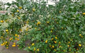six fast growing fruit trees and one vegetable schneiderpeeps