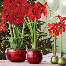 ultimate amaryllis bulb gifts from jackson perkins