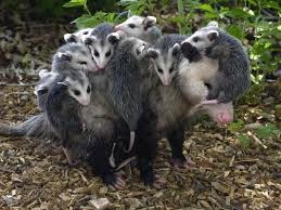 Arkansas wild animals images Arkansas wild animals google search pictures for drawing jpg