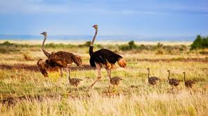 ostrich family ngsversion 1412640511512 jpg