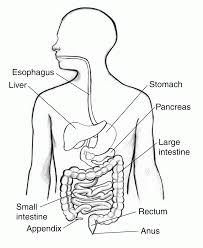 100 ideas digestive system coloring page on emergingartspdx com
