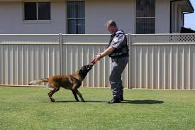 belgian shepherd for sale australia australian security guard of the year credits canine sidekick for