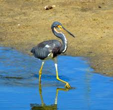 juvenile tri colored heron living with a hopeful heart