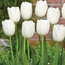 buy dutch tulip bulbs online brecks com