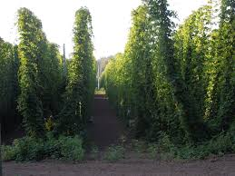 Low Trellis Hops Hops With A Family Connection Salmon River Brewery Craft Beer