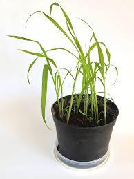 balkon pflanzgefã ãÿe riesenbambus moso bambus 50 samen winterhart wächst 10