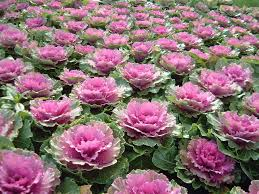 ornamental tag wallpapers decorative cabbage flowers color parks