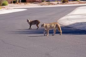 california bobcat hunting season laws and locations legal labrador