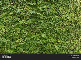 Creeping Fig Wallpaper Nature Image U0026 Photo Bigstock
