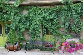 fast growing vines for urban garden privacy pioneer dad