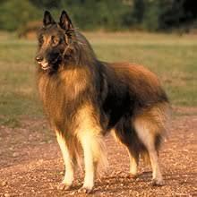 belgian sheepdog short hair belgian tervuren shepherd puppies for sale