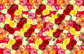 colorful roses colorful roses field stock photo colourbox