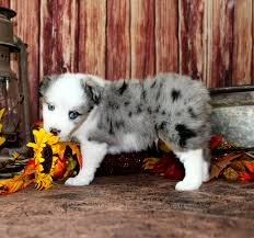 australian shepherd blue heeler diva blue merle male color country aussies