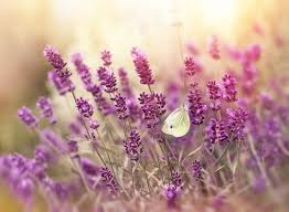 lavender flowers lavender flower meaning flower meaning