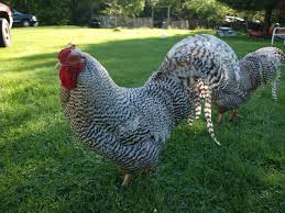 Raising Meat Chickens Your Backyard by Best Heritage Chicken Breeds For Meat With 15 Popular Breeds Of
