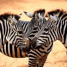 wallpaper zebra couple cute animals animals 4880