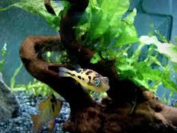 clown loach care tank mates size lifespan behavior