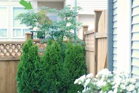 best backyard trees for shade backyard and yard design for village
