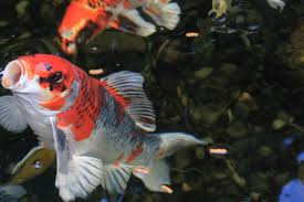 free stock photo of fish koi koi fishes