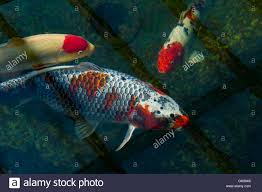 ornamental fish koi carp in a garden pond with the bottom drain
