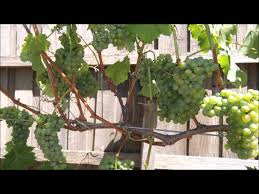 How To Grow Grapes In Your Backyard by Training Grape Vines From Beginning To Canopy Pt6 Youtube