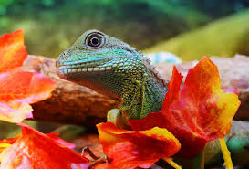 what do chinese water dragons eat more than you think bearded