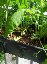 Best Flowers For Small Pots Container Gardening Radishes U2013 Growing And Planting Radish Seeds