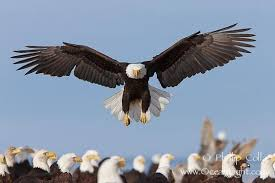 strange eagle wallpapers pin by kerry sr on beautiful birds pinterest beautiful birds