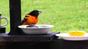 baltimore orioles in may snow if you start feeding keep feeding
