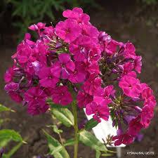 phlox flower wendy house daylily phlox eu