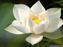Cute Flower Wallpapers - white lotus wallpapers crazy frankenstein lotus pinterest