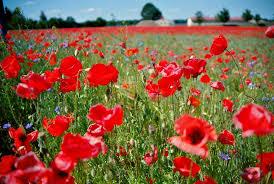 file schermen poppy field 4 jpg wikimedia commons