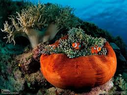 do clown fish really live in anemones like in finding nemo