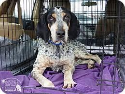 bluetick coonhound rescue georgia rescued marlinton wv english redtick coonhound bluetick