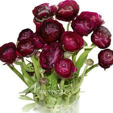 burgundy flowers wholesale ranunculus flowers ranunculus burgundy flowers