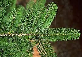 true fir species common trees of the pacific northwest