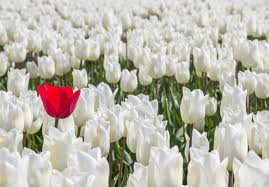 white tulips single tulip among many white tulips stock image image of