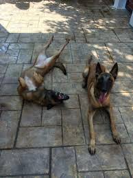 belgian malinois markings 100 best малинуа images on pinterest german shepherds animals