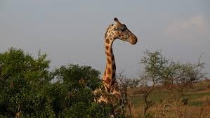 successfully moving giraffes msutoday michigan state university