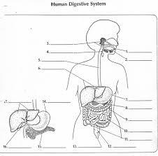 respiratory digestive systems worksheet digestive system worksheet