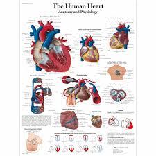 Human Anatomy Physiology Pdf Human Heart Anatomy And Physiology Pdf Archives Human Anatomy System