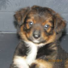 7 week old australian shepherd weight three creek australian shepherds australian shepherds with tails