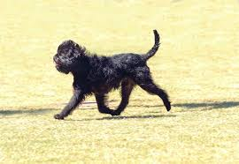 affenpinscher havanese mix affenpinscher dog breed information pictures characteristics