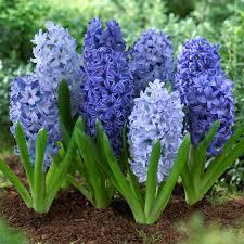 hyacinth flower shades of blue longfield gardens